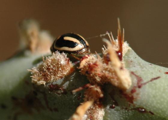 Ladybird on cactus - Hyperaspis trifurcata