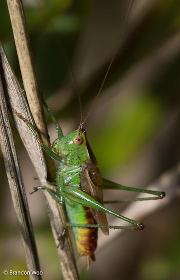 Conocephalus brevipennis - male