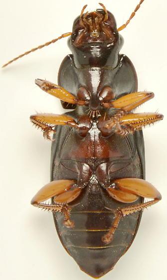 Harpalus texanus - female