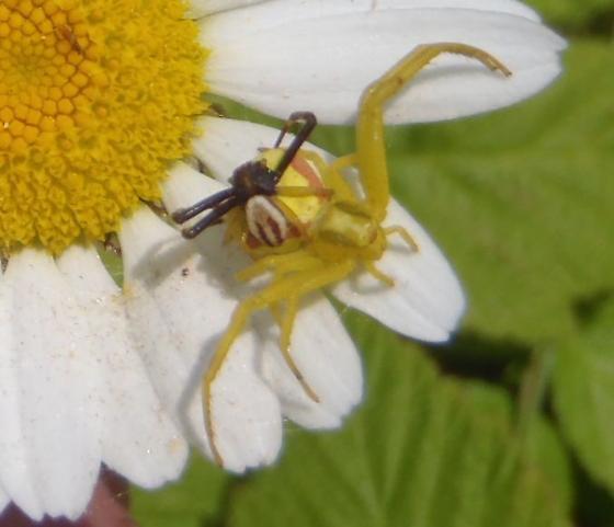 Misumena vatia - male - female