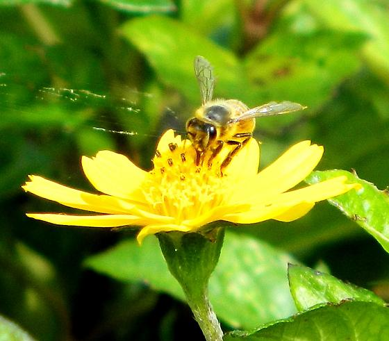 Honey Bee (Apis mellifera) on wedelia flower - Apis mellifera