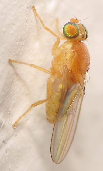 Small Orange Fly - Gymnochiromyia