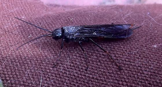 What is this? - Sirex nigricornis - female