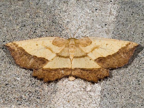Saw-wing - Hodges#6724 - Euchlaena serrata