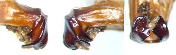 Phyllophaga vehemens - male