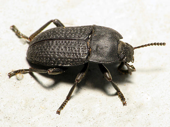 Textured Beetle - Alaetrinus minimus