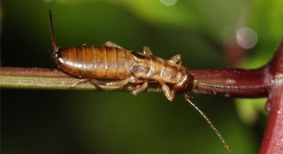 Earwig - Forficula auricularia