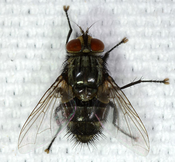 short bodied fly - male
