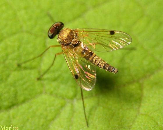 Snipe Fly - Chrysopilus modestus