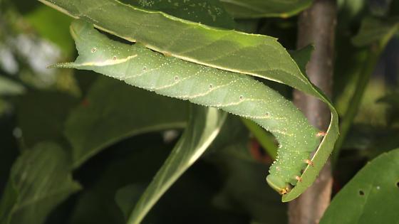 Last instar larva - Manduca jasminearum