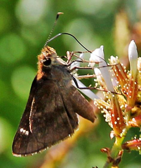 Unable to ID this skipper - Cymaenes trebius - female