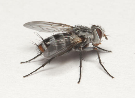 Tachinidae, lateral - Zelia metalis - female