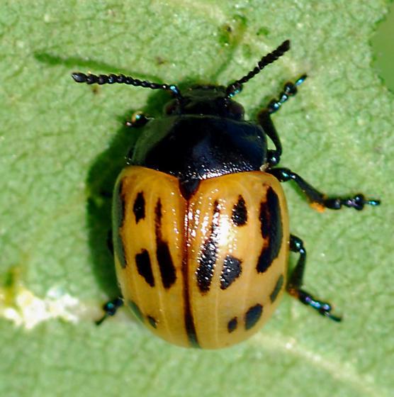 Swamp Milkweed Beetle? - Labidomera clivicollis