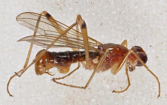 Micropezidae Compsobata sp. - Compsobata univitta