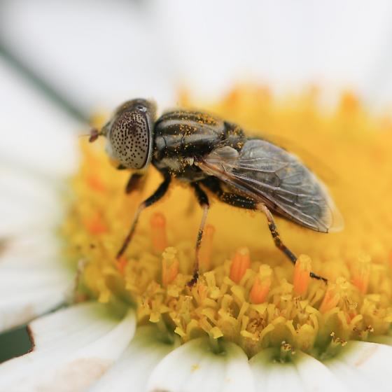 Spotted Eye Fly - Eristalinus aeneus