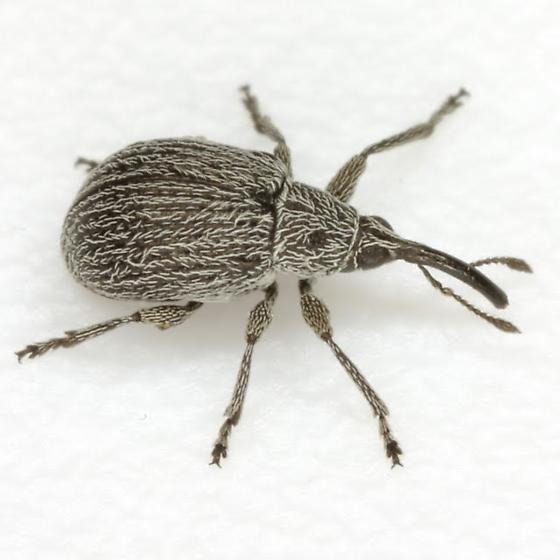 Apioninae - Trichapion