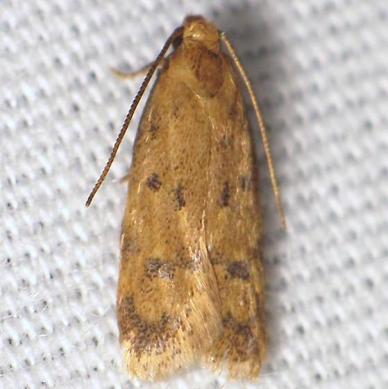Unid. moth - Gerdana caritella
