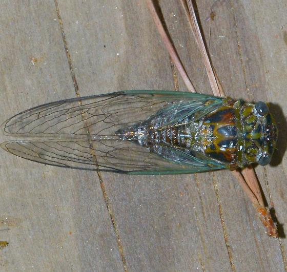 Diceroprocta vitripennis - Green Winged Cicada for July for LA - Diceroprocta vitripennis
