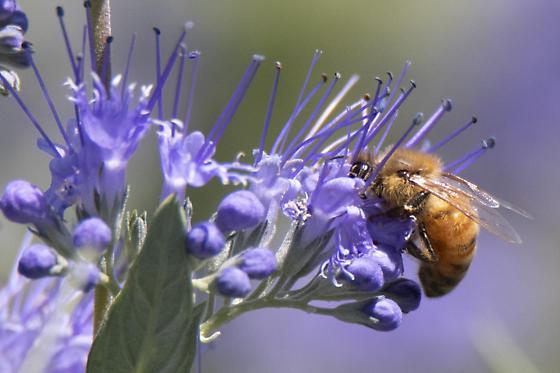 Honeybee - Apis mellifera