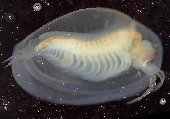 Clam shrimp, glycerin saturated and submerged - Eulimnadia geayi - female