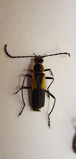 Chauliognathus deceptus? - Chauliognathus deceptus