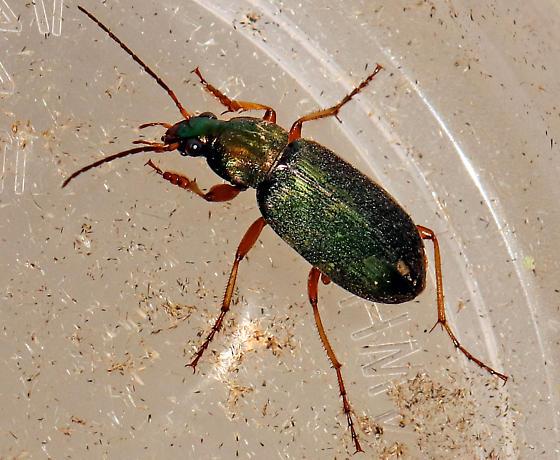 Vivid Metallic Ground Beetle (Genus Chlaenius)? - Chlaenius