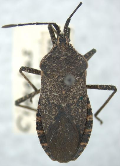 Cimolus obscurus Stål - Cimolus obscurus - male