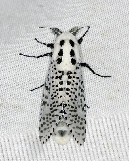 Wood Leapord Moth - Zeuzera pyrina