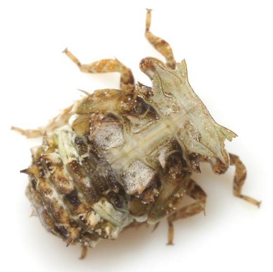 Itzalana submaculata Schmidt - Itzalana submaculata