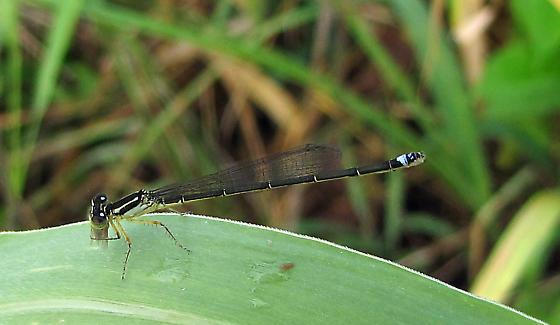 Eastern Forktail (f) - Ischnura verticalis - female