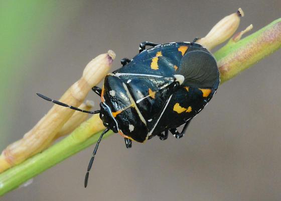 Harlequin Bug - Murgantia histrionica