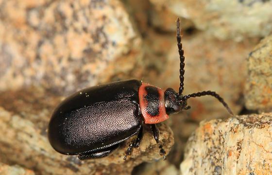small beetle - Kuschelina vians