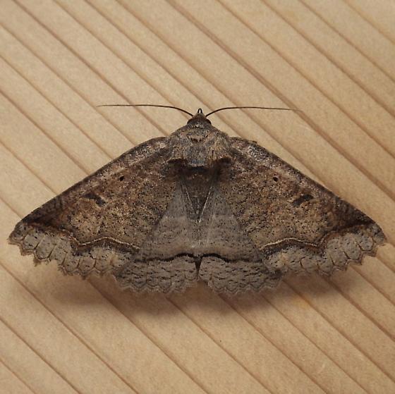 Erebidae: Zale unilineata - Zale unilineata