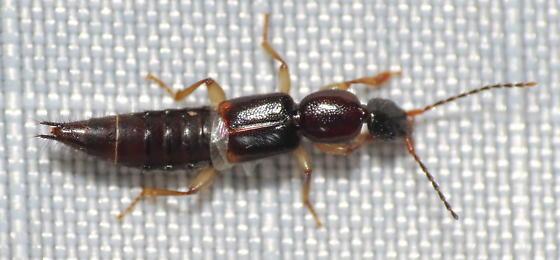 Staphylinidae - Tetartopeus