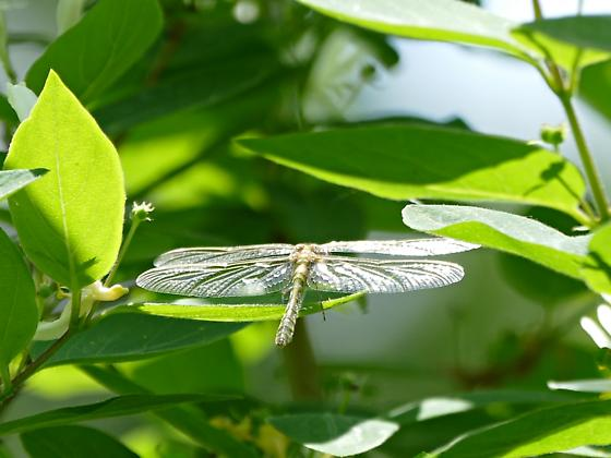 Possible clubtail dragonfly