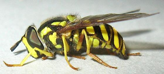 Wasp mimic Syrphid Fly - Chrysotoxum
