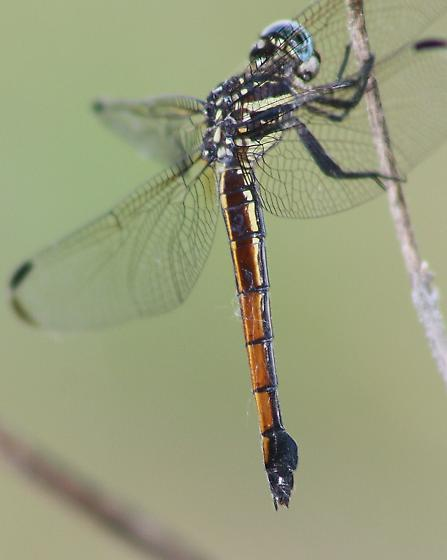 Gray-waisted Skimmer - Cannaphila insularis - female