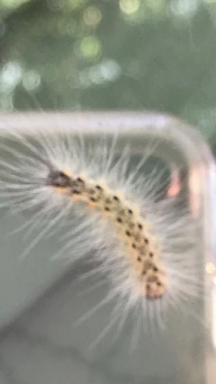 fuzzy caterpillar - Hyphantria cunea