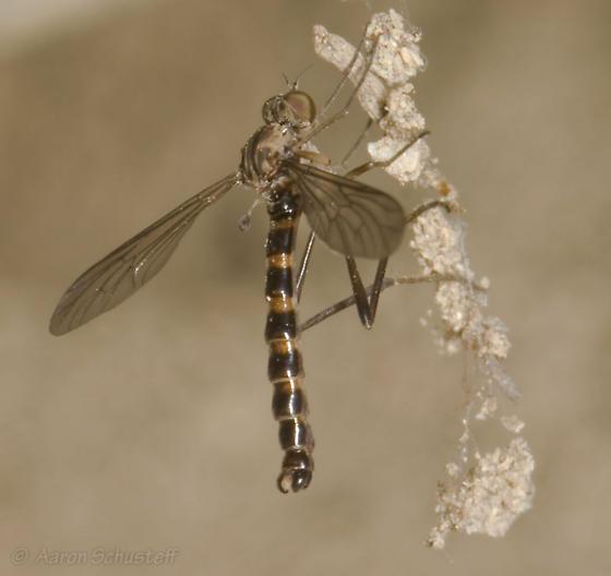 Sierra Wormlion - Vermileo comstocki - male