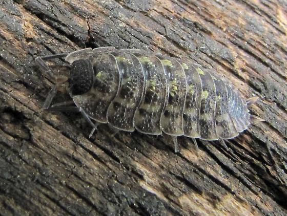 Scaly bug - Porcellio spinicornis