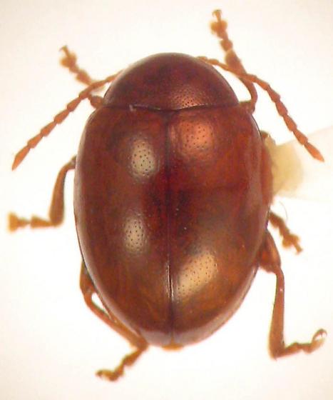 Sphaeroderma testaceum (F) - Sphaeroderma testaceum