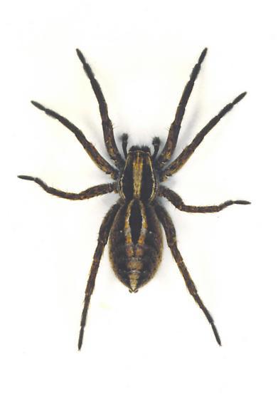 Wolf Spider - Alopecosa cuneata - Schizocosa - female