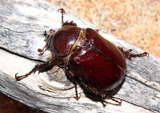 Male - Megasoma sleeperi - male