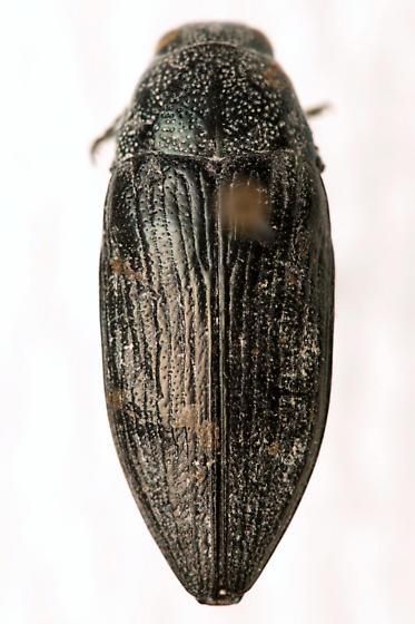 Buprestis parmaculativentris Knull - Buprestis parmaculativentris