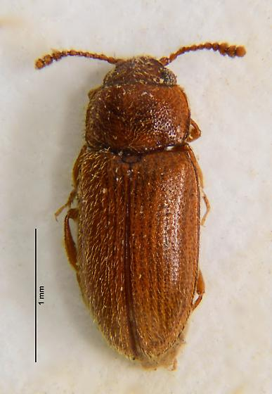 Erotylid? - Cryptophilus integer