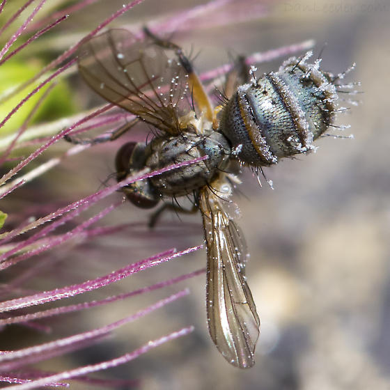 Unidentified Fungus-ridden Fly