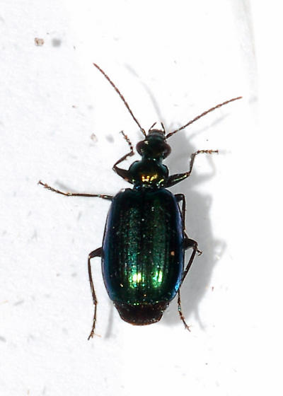 Small shiny ground beetle - Lebia viridis