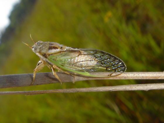 small cicada - Beameria venosa