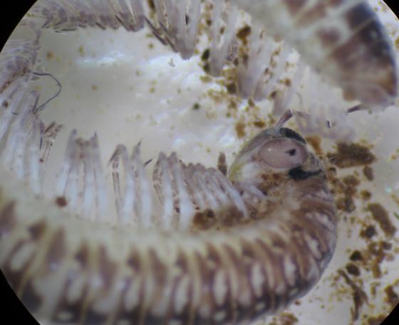 Millipede - Chordeumatida - Cleidogona - female