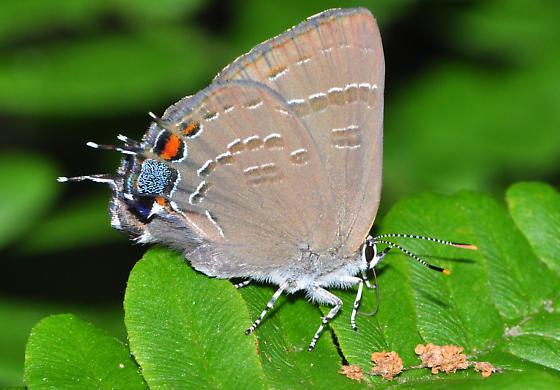 Butterfly ID request - Satyrium calanus